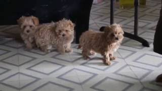 Download Maltipoo Puppies For Sale Video