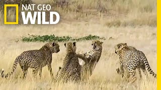Download Watch Female Cheetah Fight Four Males in Brutal Courtship | Nat Geo Wild Video
