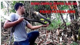 Download BLACK KING COBRA LEBIH GALAK ! KUALAHAN NANGANINYA Video