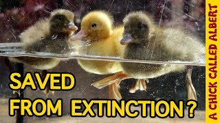 Download The Rarest Ducklings on earth Video