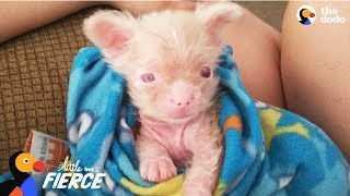 Download Newborn Albino Puppy Shows His Mom He's A Survivor - LUCKY | The Dodo Little But Fierce Video