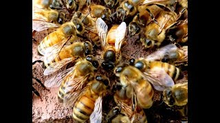 Download Watch How Bees Accept And Reject Queens, Don't Miss This Video