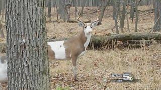 Download Hunter Scores Incredibly Rare Piebald Buck Video