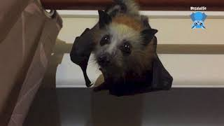 Download Baby bat escapes the cage: this is Moonshadow Video