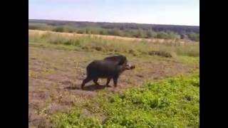 Download наглый дикий кабан в огороде Video