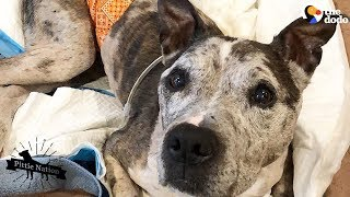 Download Senior Dog's Family Treasures Every Single Day With Him   The Dodo Pittie Nation Video