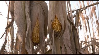 Download Trump's ethanol moves: good policy or corn country politics? Video