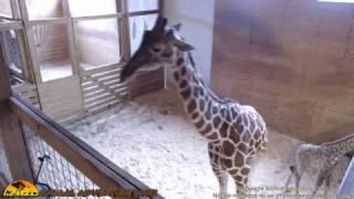 Download Tuesday Giraffe Cam (4-25-17) Video