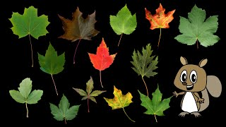 Download Maple Leaves - Nature / Fall Foliage - The Kids' Picture Show (Fun & Educational Learning Video) Video