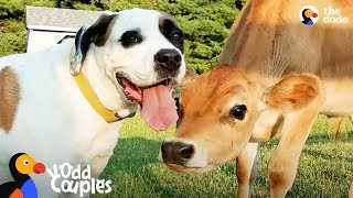 Download Dog Turns Lonely Baby Cow Into A Happy Puppy | The Dodo Odd Couples Video