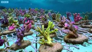 Download Coral Gardening | South Pacific | BBC Earth Video