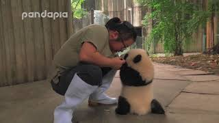 Download keeper encourages the panda cub to walk Video