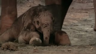 Download Elephant calf: Wildlife Specials: Elephant | Spy in the Herd Video