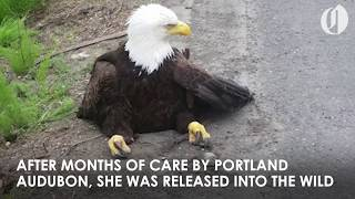 Download Bald Eagle hit by car back in the wild with help from Portland Audubon Video