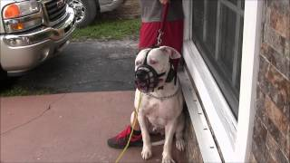 Download (Part 3) Aggressive American Bulldog has lost his mind! RED ZONE DOG BITES THE MIAMI DOG WHISPERER Video