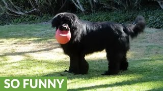 Download Game of fetch with Newfoundland comes to abrupt end Video