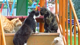 Download Cats want mating day 2 Video
