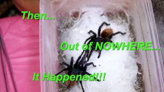 Download Greenbottle Blue Round Two Finally...It Happened with The Deadly Tarantula Girl Video