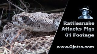 Download Rattlesnake Attacks Pigs 01 Stock Footage Video