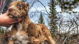 Download Top 7 Perros Que Le Ganan al Pitbull Video
