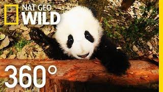 Download 360° Baby Pandas | Nat Geo WILD Video