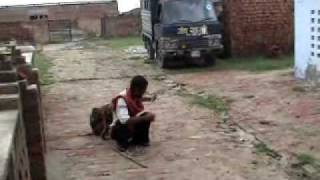 Download Dancing monkey family rescued by OIPA in India - Naresh Kadyan Video