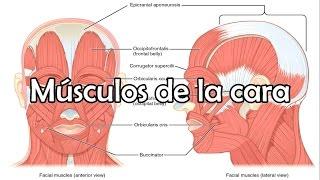 Download Los músculos de la cara, músculos faciales - Anatomía de la cabeza Video