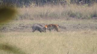 Download Tiger Attacks Wild Boar - Tadoba National Reserve ( see Description for Situation ) Video