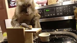 Download Messy monkey after a mouse tail Video