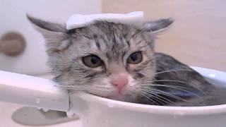 Download おふろが大好きな仔猫の花ちゃん Video