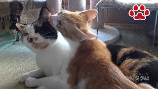 Download 少し成長した子猫【瀬戸のまや日記】Kitten Maya grew a lot Video