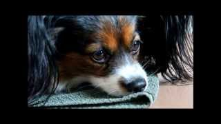 Download The Papillon Chico - Best Dog Ever Video
