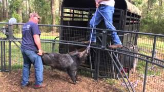 Download BAD Hogs are Hard to Move Video