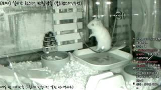 Download [모찌Live] National Hamster graphic (실시간 햄스터 방송 / Hamster Live broadcast) #16-11-29 Video