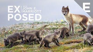 Download Adorable Arctic Fox Pups of Somerset Island Video