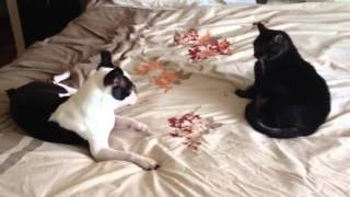 Download Boston Terrier Meets Cat and Has A Spaz Attack Video