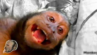 Download Capuchin Monkey Talking Compilation! CUTE! Video