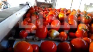 Download شركة مواد غذائية شهيرة تُصنع «الصلصة والكاتشب» من طماطم فاسدة Video