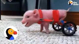 Download Pig Gets New Wheelchairs from his Dad | The Dodo Video