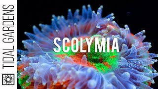 Download Scolymia Coral Care Tips Video