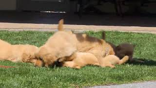 Download Golden Retriever Puppies For Sale Mary Stoltzfus Video