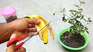 Download Easy and free fertilizer for any plants | Banana peel fertilizer Video