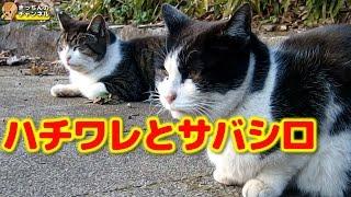 Download 【野良猫】ハチワレとサバシロ【地域猫】 Video