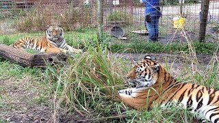 Download Zeus And Keisha Tigers Share A Home Video