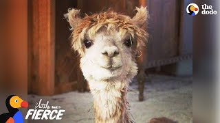 Download Tiny Alpaca Has A HUGE Personality - CODY | The Dodo Little But Fierce Video