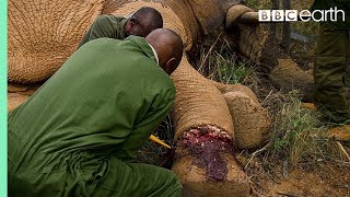 Download Elephant Needs Life Saving Surgery after Being Caught in a Snare | BBC Earth Video