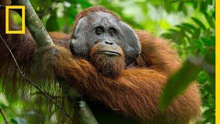 Download A Rare Look at the Secret Life of Orangutans | Short Film Showcase Video
