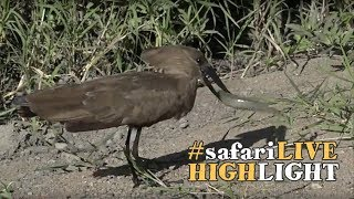 Download Hungry bird kills catfish! Video