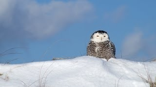 Download Bay of Fundy, Bald Eagles and Snowy Owls Video