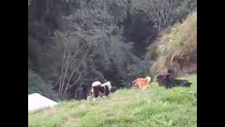 Download Battle of the Temple Dogs and Monkeys in Bhutan Video